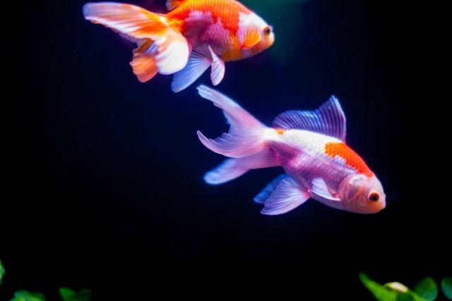 アクアリウムにおすすめの魚③:国内で最も有名な観賞魚!金魚