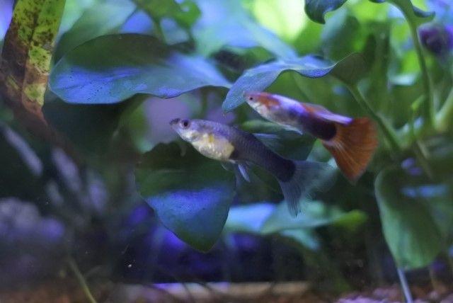 アクアリウムにおすすめの魚④:派手さが自慢!グッピー
