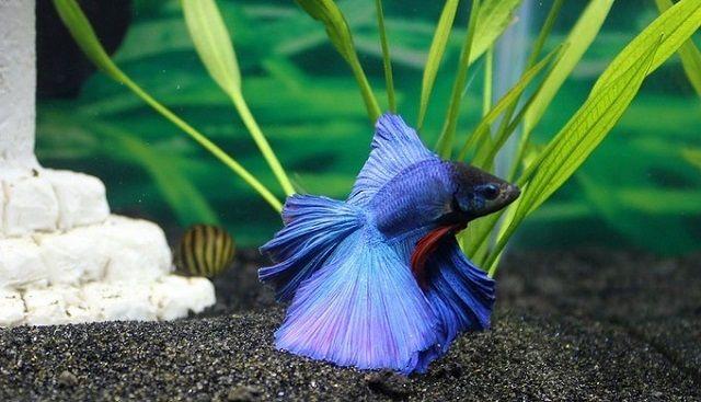 アクアリウムにおすすめの魚⑤:生きる水中花!ベタ