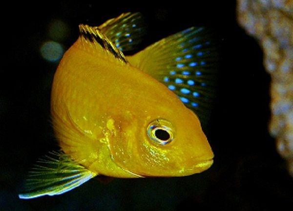 アクアリウムにおすすめの魚⑥:強靭な生命力!アフリカンシクリッド