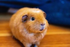 集合住宅で飼いやすいおススメペット!モルモットの飼育方法を紹介!