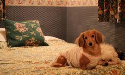ベッドを噛んで怒られた子犬