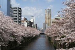 目黒区 目黒川の桜