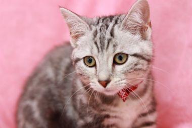 家猫として人気のアメリカンショートヘア