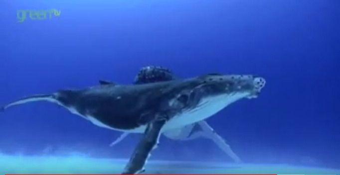 海中を泳ぐクジラ