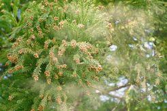 飛散するスギ花粉