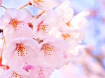 入学式をイメージした桜