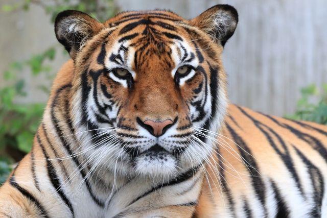 旭川の動物園トラ