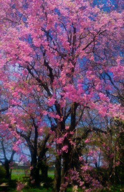 岩手北上市 桜