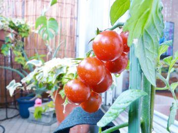 ベランダ菜園で作るトマト