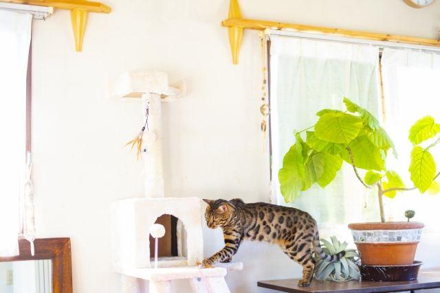 部屋を散歩するベンガル猫